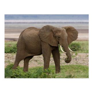 Afrika. Tansania. Elefant in See Manyara NP Postkarte
