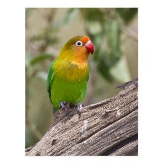 Afrika. Tansania. Fischers Lovebird bei Ndutu Postkarte