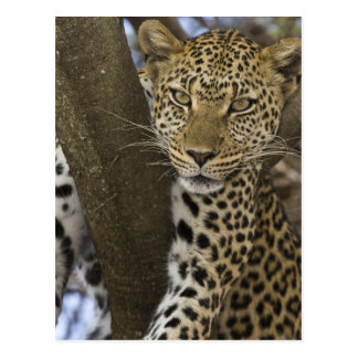 Afrika. Tansania. Leopard im Baum bei Serengeti Postkarte