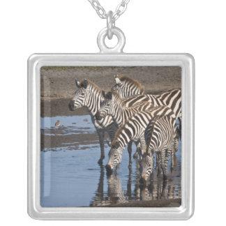 Afrika. Tansania. Zebras, die herein bei Ndutu Versilberte Kette