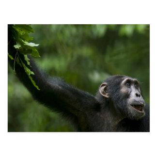Afrika, Uganda, Kibale Waldreserve, Porträt Postkarte