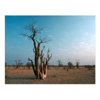 Afrikaner Moringo Baum auf Ebene, Etosha Postkarte