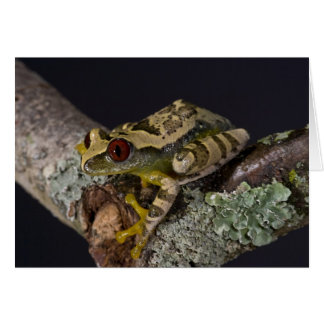 Afrikaner Red Eye Treefrog, Leptopelis Karte