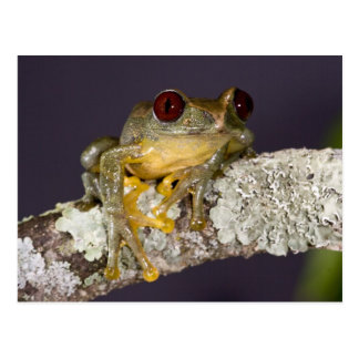 Afrikaner Red Eye Treefrog, Leptopelis Postkarte
