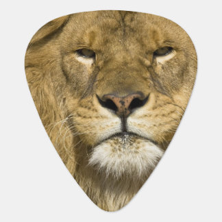 Afrikanerbarbary-Löwe, Panthera Löwe Löwe, ein von Plektron