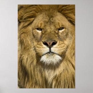 Afrikanerbarbary-Löwe, Panthera Löwe Löwe, ein von Poster