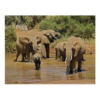 Afrikanische Elefanten, Loxodonta Africana, Postkarte