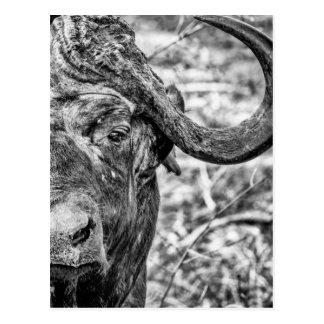 Afrikanische Kap-Büffel-Porträt-Postkarte Postkarte