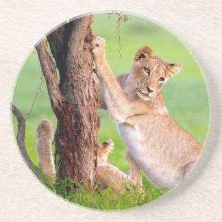 Afrikanische Löwen Kgalagadi Sandstein Untersetzer