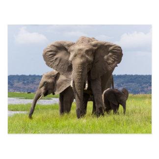Afrikanischer Elefant-Familie, Botswana, Postkarte