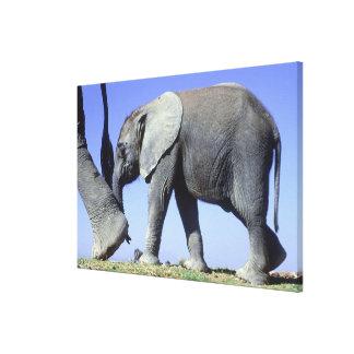 Afrikanischer Elefant-Kalb Leinwanddruck