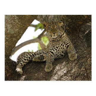 Afrikanischer Leopard, Panthera pardus, in einem Postkarte