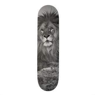 Afrikanischer Löwe, der auf Felsenklippe Skateboard Bretter