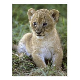 Afrikanischer Löwe, Panthera Löwe), Tansania, Postkarte