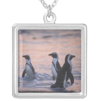 Afrikanischer Pinguin (Spheniscus demersus) oder Versilberte Kette