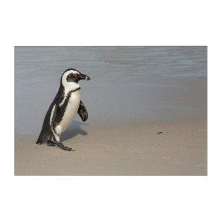 Afrikanisches Pinguin-Gehen Acryldruck