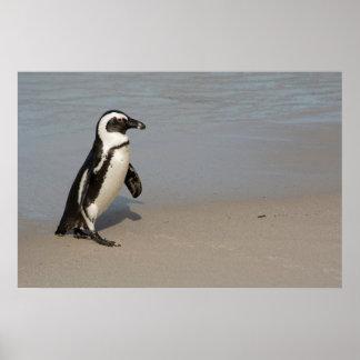 Afrikanisches Pinguin-Gehen Poster