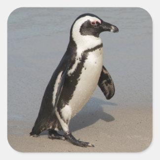 Afrikanisches Pinguin-Gehen Quadratischer Aufkleber