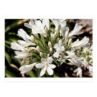 Agapanthus-Blume in der Blüte Postkarte