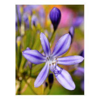 Agapanthus-Blume Postkarte