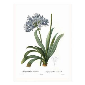 Agapanthus umbellatus postkarte