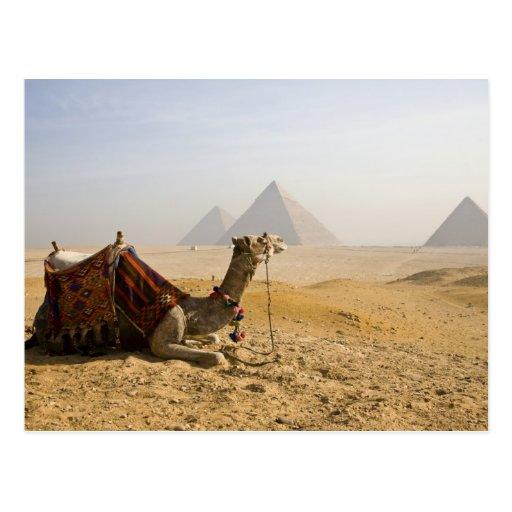 Ägypten, Kairo. Ein einziges Kamel starrt über an Postkarte