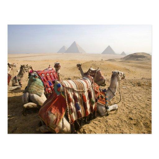 Ägypten, Kairo. Stillstehendes Kamelanstarren über Postkarte