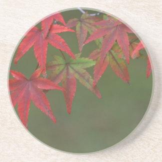 Ahorn-Blätter, Katsura, Kyoto, Japan Untersetzer