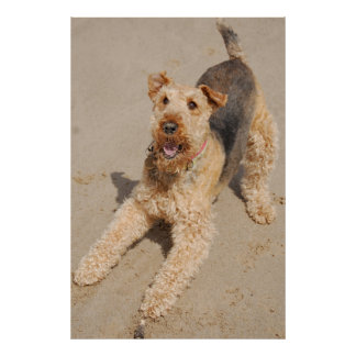 Airedale-Terrier Poster