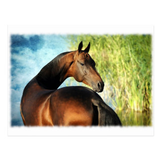 Akhal-teke Stallion Postkarte