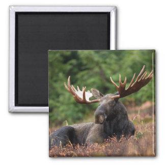 Alaska-Elch-Magnet Quadratischer Magnet