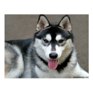 Alaskischer Malamute-Hunde Postkarte