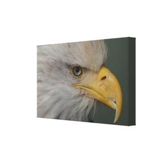 Alaskischer Weißkopfseeadler. Ein Symbol der Leinwanddruck