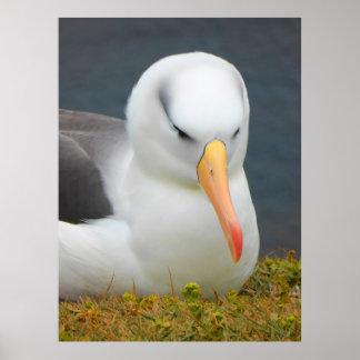 Albatros-Vogel vor der Küste von Neuseeland Poster