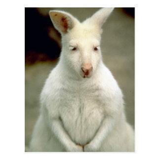 Albino-Bennets Wallaby Postkarte