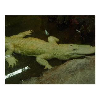 Albino Croc Postkarte
