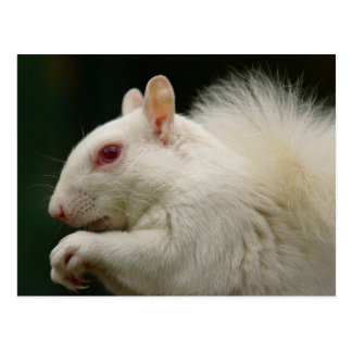 Albino-Grau-Eichhörnchen Postkarte