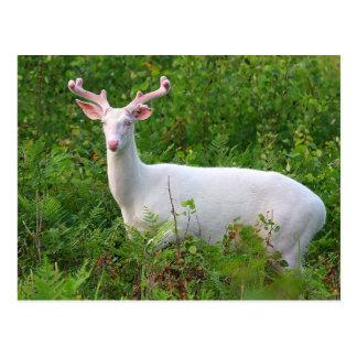 Albino-Weißwedelhirsch-Postkarte Postkarte