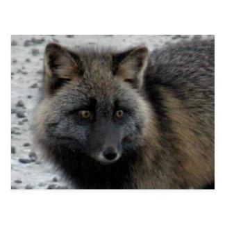 Aleutischer Fox auf Unalaska Insel Postkarte