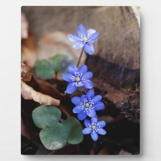 Allgemeines Hepatica (Hepatica nobilis) Fotoplatte