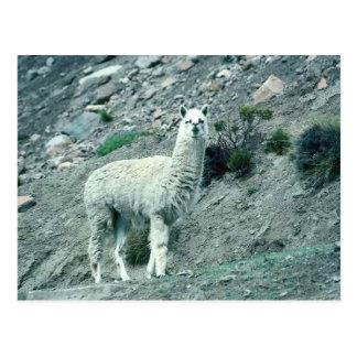 Alpaka Postkarte