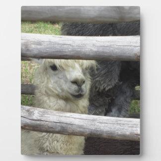 Alpaka (Vicugna pacos) Bretterzaun heraus schauend Fotoplatte