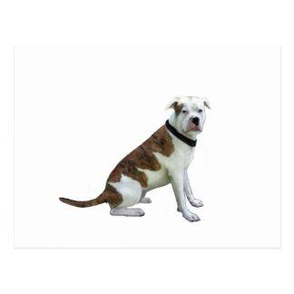 Alpha blaues Blut-Bulldogge (a) Postkarte