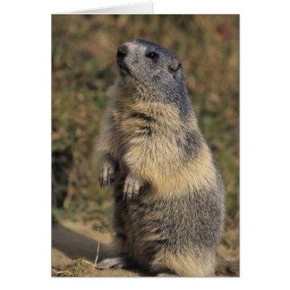 Alpines Murmeltier, Marmota Marmota, Erwachsener Karte