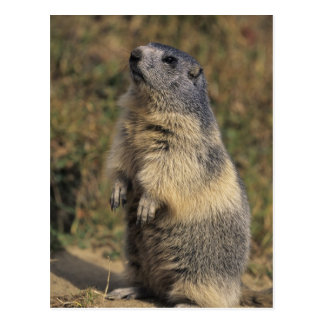 Alpines Murmeltier, Marmota Marmota, Erwachsener Postkarte