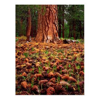 Alt-Wachstum Ponderosa Baum mit Kiefernkegeln Postkarte