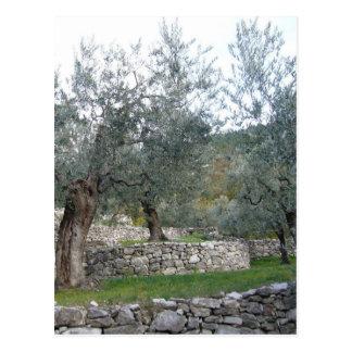 Alte Olivenbäume Postkarte