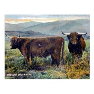 Alte Postkarte - Hochland-Vieh