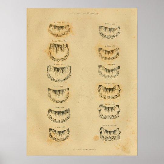 Alter des Pferds durch Zahn-Anatomie-Vintagen Poster   Zazzle
