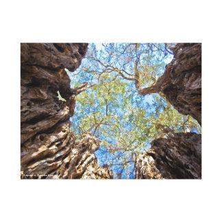 Alter Olivenbaum, Zypern Leinwanddruck